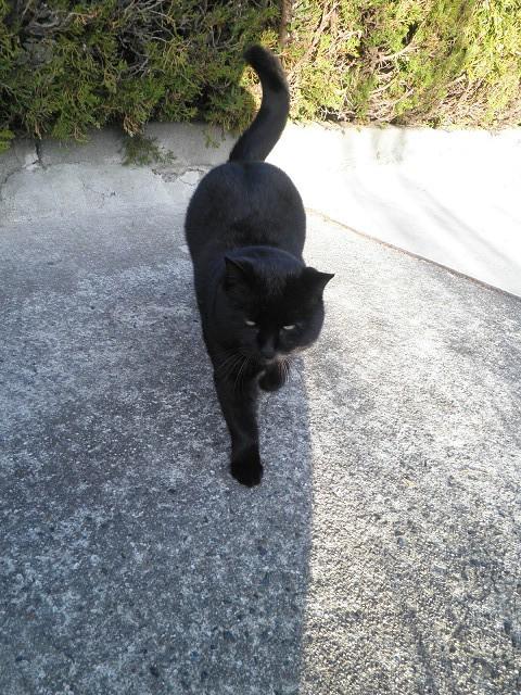 日間賀島黒猫